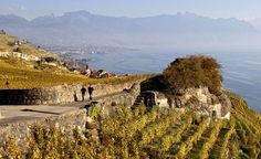 The Lavaux Vineyard Terracesin Swizterland blanket the lower mountain slopes along the northern shores of Lake Geneva. Each autumn, the 2,050 acres of ancient vineyards—established by Benedictine and Cistercian monks in the 11th century - - attract hikers who walk and taste their way along the 21-mile Grand Traversée de Lavaux from Ouchy in Lausanne to Chateau de Chillon Castle.
