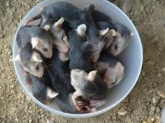 possum pie? Nooooo this is a bowl of possum lovins! hard to believe these babies were all in the same pouch. Please ck possum pouches for babies, when you find them hit on the road, etc. These little guys deserve to life. I should add, all of these guys lived and were released back into the wild. Thanks for your help @Cindy Surgener