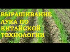 Выращивание лука китайским способом. - YouTube