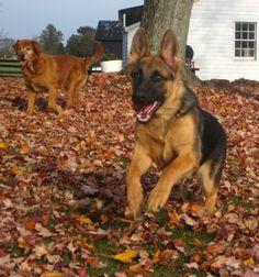 German Shepherd and Golden Retriever dogs in Autumn leaves by JaxBandicoot