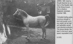 AZREK (desert-bred) 1881 grey stallion bred by Sheikh Mashtab ibn ed Derri of the Resalilin tribe of the Sebaa Anazeh. Imported to Crabbet Park Stud of England 1888.