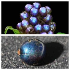"""Pollia condensata, or 'marble berry,' uses spiraled layers of cellulose to create this iridescent effect, producing what scientists call the most intense blue coloration of any biological material."" - whoa!"