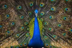Peacock by Atiul Ehsan Rupom on 500px
