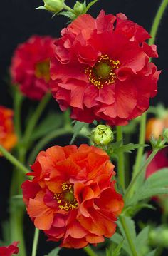 Geum Red Dragon