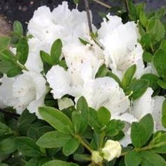 """Girard Pleasant White Azalea Growing & Maintenance:  In spring, apply balanced fertilizer for acid-loving plants according to package directions. Check soil weekly for moisture. Water thoroughly when dry. Adequate water until the ground freezes is necessary to sustain plant during the winter. Prune after blooming to shape. Do not prune during winter as next year's flowers will be removed. Apply layer of mulch 2-3"""" deep around plant to protect roots during winter. No additional winter…"""