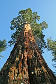 Giant Sequoia, King's Canyon National Park