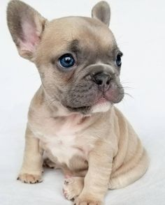 The major breeds of bulldogs are English bulldog, American bulldog, and French bulldog. The bulldog has a broad shoulder which matches with the head. The s Cute French Bulldog, French Bulldog Puppies, Cute Dogs And Puppies, Baby Dogs, French Bulldogs, Doggies, English Bulldogs, Frenchie Puppies, Funny Puppies