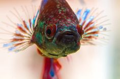 Betta | Betta splendens (by micky2paris)