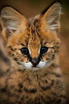 Serval kitten ❤
