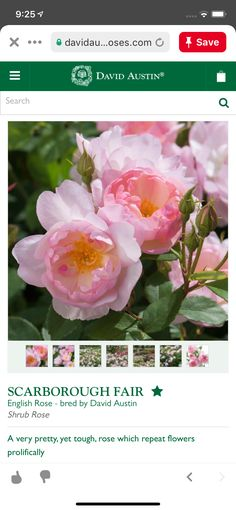 Shrub Roses, David Austin, English Roses, Shrubs, Pretty, Flowers, Plants, Shrub, Plant