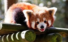 15 Fluffy Photos of the Red Panda Prove that  Nature Can Be Cute | BESTTHINGS.CO  — Share & Inspire