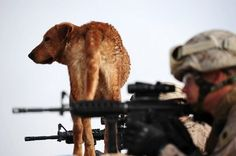 #military dogs