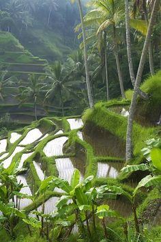 Rice terraces in Indonesia.