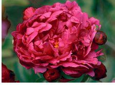 Adolphe Rousseau peony - A&D Nursery peonies