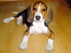 Cómo conocer el carácter de un perro El Test de Campbell beagle