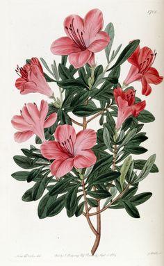 Azalea - Rhododendron indicum var. lateritia - circa 1835