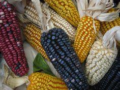 maíz azul, rojo, amarillo, blanco...