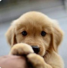 Little cute Golden Retriever puppy - Hunde - Puppies Animals And Pets, Baby Animals, Cute Animals, Retriever Puppy, Golden Retriever Puppies, Mini Golden Retriever, Golden Retriever Names, Golden Retriever Training, Cute Creatures
