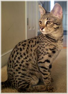 African Serval/Domestic Hybrid called the Savannah cat. Love...