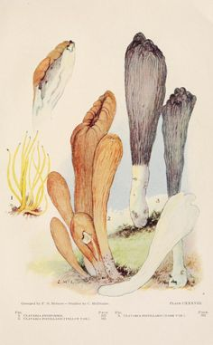 Toadstools, mushrooms, fungi, edible and poisonous; - Biodiversity Heritage Library