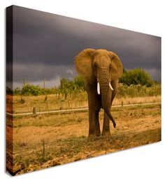 Elephant Grasslands by Animal Art Canvas Printers, Canvas Art Cheap Prints by www.canvastown.co.uk