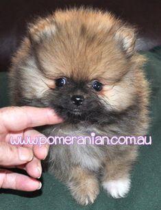 #pomeranian #pomeranianpuppy #dochlaggiePomeranianpuppy Dochlaggie Pomeranian puppy
