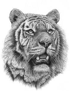 Siberian Tiger by on DeviantArt Husky Drawing, Tiger Drawing, Tiger Art, Pet Tiger, Tiger Cubs, Bengal Tiger, Bear Cubs, Pencil Drawings Of Animals, Animal Sketches