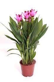 Image result for CUMCURA PLANT