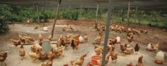 Chicken Oct 3