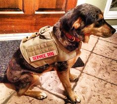 ForceK9.com MOLLE vests - Gear for Elite Canines. Angel...ready for service.