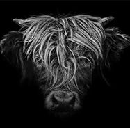 Highlander, picture from the series Black Edition by Claudio Gotsch, LUMAS Artist ✓ Animal Photography, Fine Art Photography, Series Black, Buy Pictures, Pictures Online, Angel Tattoo Designs, Photography Competitions, Tier Fotos, Woodland Creatures