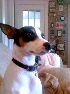 rat terrier ~ reminds me of our very special 1st dog ~ loved her so much!