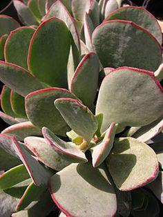 Succulent | 福娘系