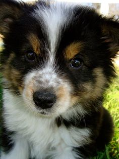 Australian shepherd husky mix... holy shit I think im in love with this puppy... PRETTY PLEASE?!?!?! @charles elliott McVay
