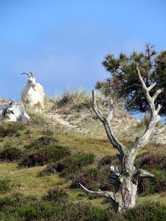 Goats on the island Terschelling, Netherlands