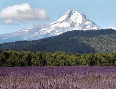 Lavender Fields in Hood River, Oregon