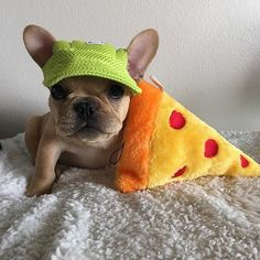 """My request for dinner is Pizza""....""gimme!"", French Bulldog Puppy, #thatfacetho"