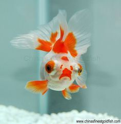 Butterfly goldfish | (gold)fish | Pinterest