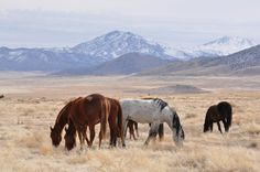 The federal government's management of American wild horses and burros is a string of mistreatment and animal neglect.