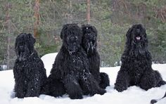 Terrier Dog Breeds, Terriers, Black Russian Terrier, Working Dogs, Mans Best Friend, Best Dogs, Hero, Life, Animals