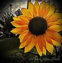 Target Sunflower Flower Floral Dark #Yellow Flora on #Etsy by @Damn_Que_Mala #iphoneography