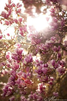 Sweet Magnolias. Still a dream of mine to get one of these for my yard!