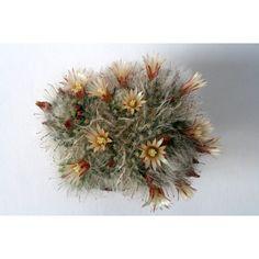Mammillaria bocasana cv. Multilanata
