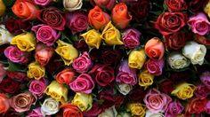 Roses - Desktop Nexus Wallpapers