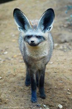 Bat Eared Fox Bat eared fox. Otocyon megalotis Southern and Eastern Africa.