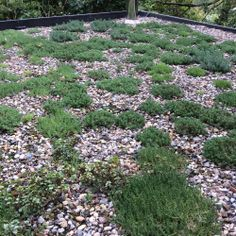 Sedum Roof nine months after planting.