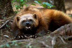 Wolverine - animals - animal pictures - wild animal facts, The wolverine is a… The Wolverine, Wolverine Animal, Wolverine Images, Beautiful Creatures, Animals Beautiful, Animals And Pets, Cute Animals, Wild Animals, North American Animals