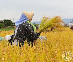 Traditional rice harvest in Japan. (Hirosaki Japan). © Glenn Waters.