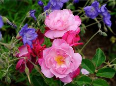 """""""Cranesbill and the rose is Sophie's Perpetual. I prefer cranesbill with roses because the blooms are less showy and do not compete as much with roses."""""""
