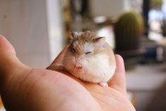 Robo Dwarf Hamsters, Cute Hamsters, Cute Creatures, Adorable Animals, Toys, Ideas, Dwarf Hamsters, Animales, Activity Toys